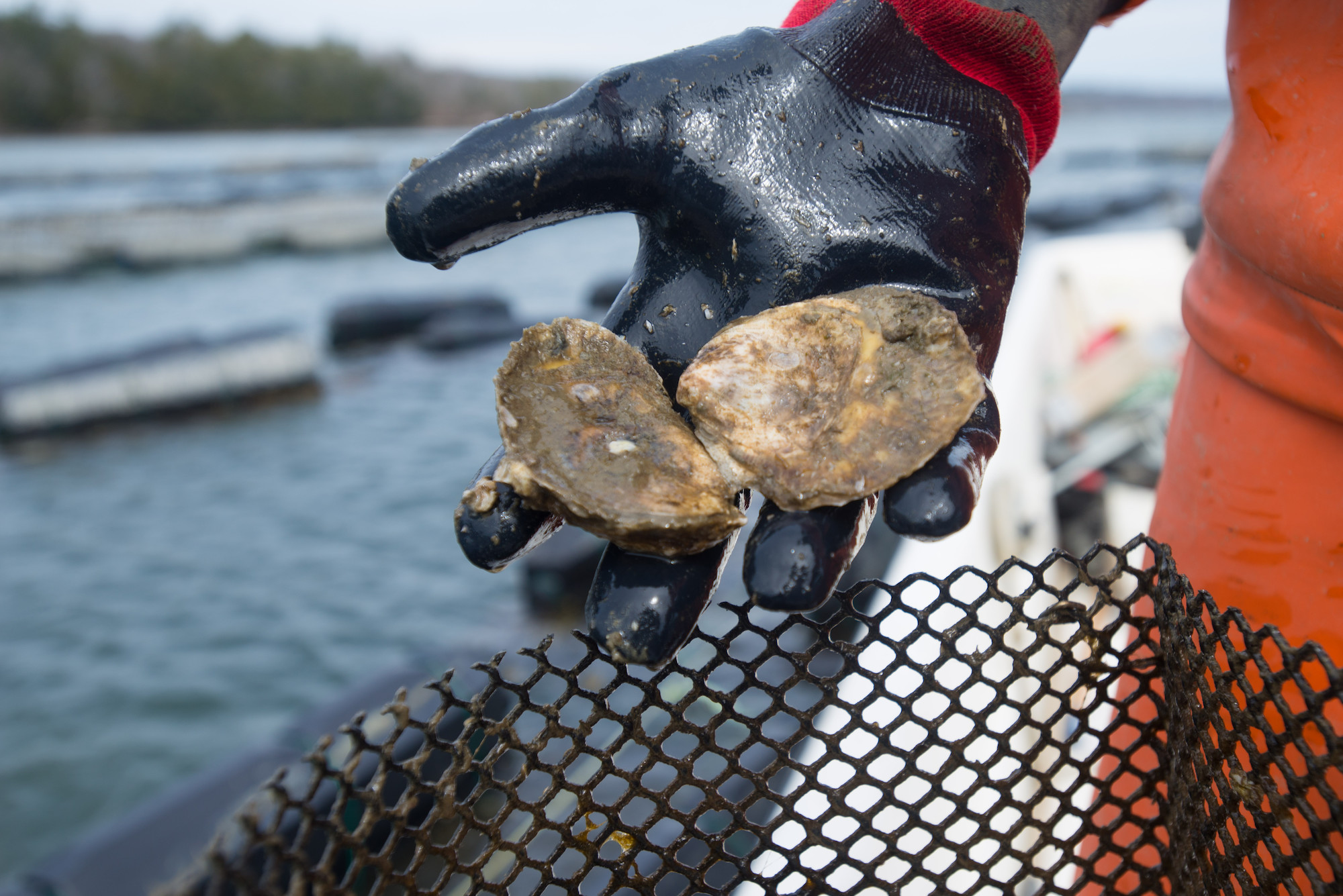 Oysters in the Great Bay