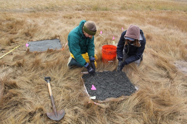UNH students conducting a field experiment on an area salt marsh.